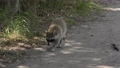 Raccoon walking on a trail in Florida park 82648388