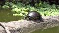 Florida Turtle basking on a log in Florida wetland. 82648389