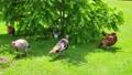 Turkeys resting under shady bush 82648754
