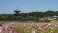 【奈良県】秋桜が美しい法起寺の風景 82854806