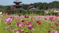 【奈良県】斑鳩町の秋桜畑 82882377