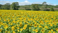 Sunflower field swaying in the wind (fixed photo) 82932834