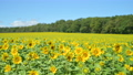Sunflower field of one side (fix photography) 82932835