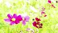 日差しを浴びて風に揺れるコスモスの花 83070714