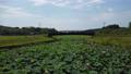沼一面の蓮の花 空撮 83079712