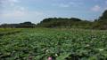 沼一面の蓮の花 空撮 83079714