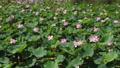 沼一面の蓮の花 空撮 83079716
