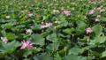 沼一面の蓮の花 空撮 83079718