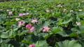 沼一面の蓮の花 空撮 83079719