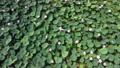 沼一面の蓮の花 空撮 83079720