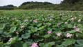沼一面の蓮の花 空撮 83079721