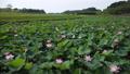 沼一面の蓮の花 空撮 83079722