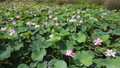 沼一面の蓮の花 空撮 83079723