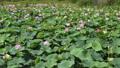 沼一面の蓮の花 空撮 83079724