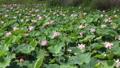 沼一面の蓮の花 空撮 83079725