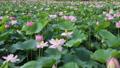 沼一面の蓮の花 空撮 83079726