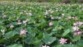 沼一面の蓮の花 空撮 83079727