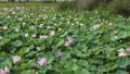 沼一面の蓮の花 空撮 83079728