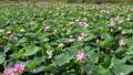 沼一面の蓮の花 空撮 83079729